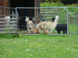 Alpaca-Farm Pfronten